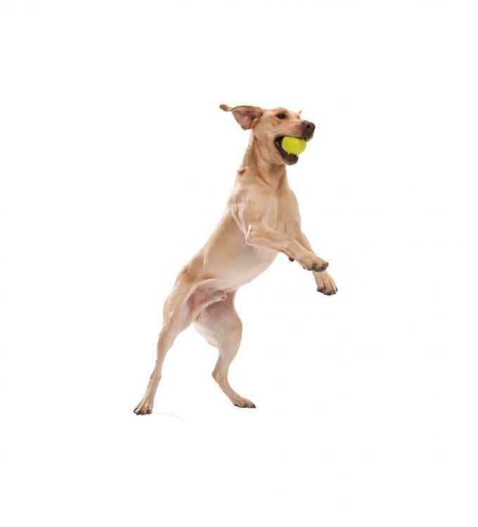 WEST-PAW-JIVE-BALL-IN-DOGS-MOUTH.jpg